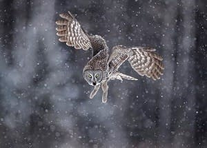 great-gray-owl-taiga