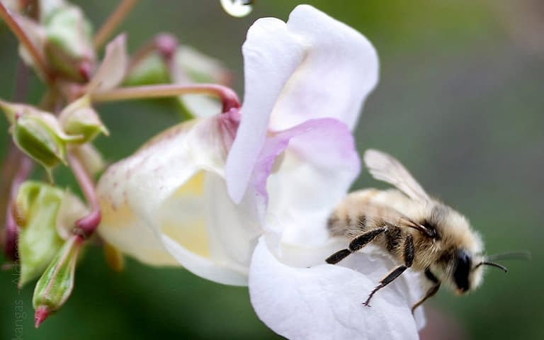 pollination ,with honeybee